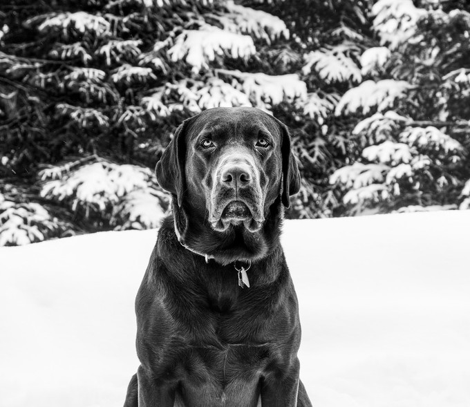 a morose dog in snow